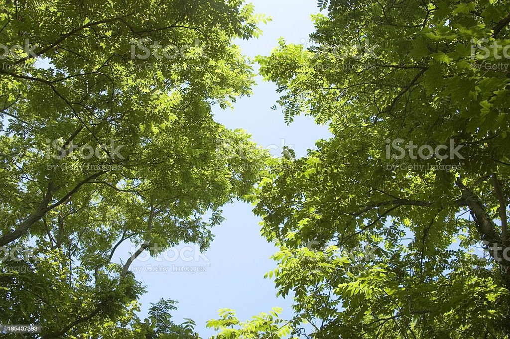 Looking up through the trees. royalty-free stock photo