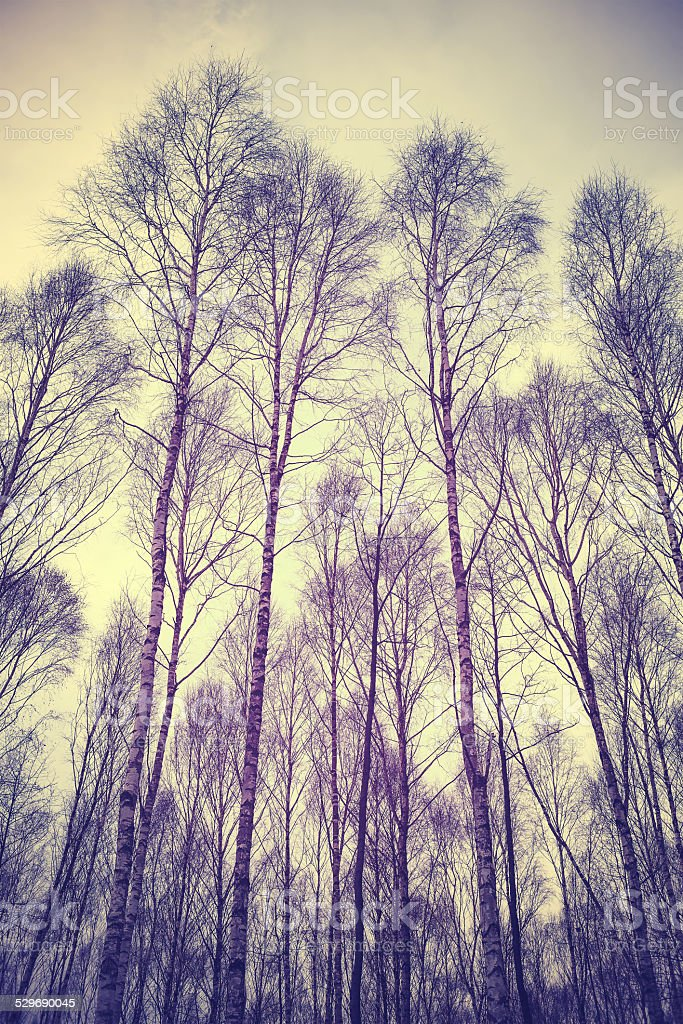 Looking up through trees, retro filtered background. stock photo
