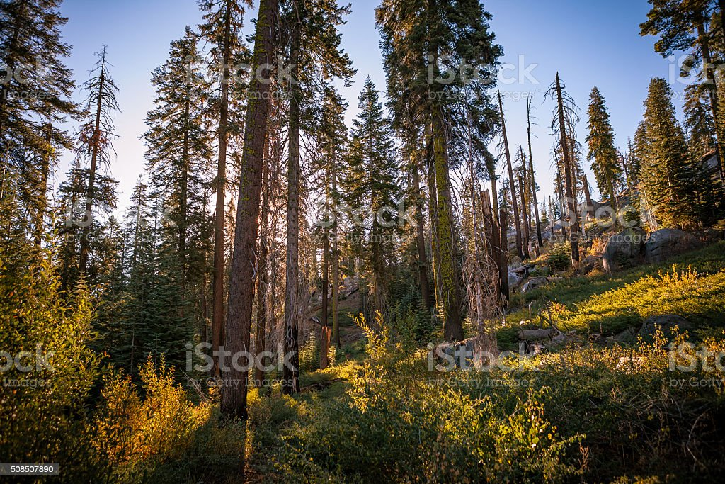 Looking Up Through Trees, Sunrise In Kings Canyon National Park stock photo