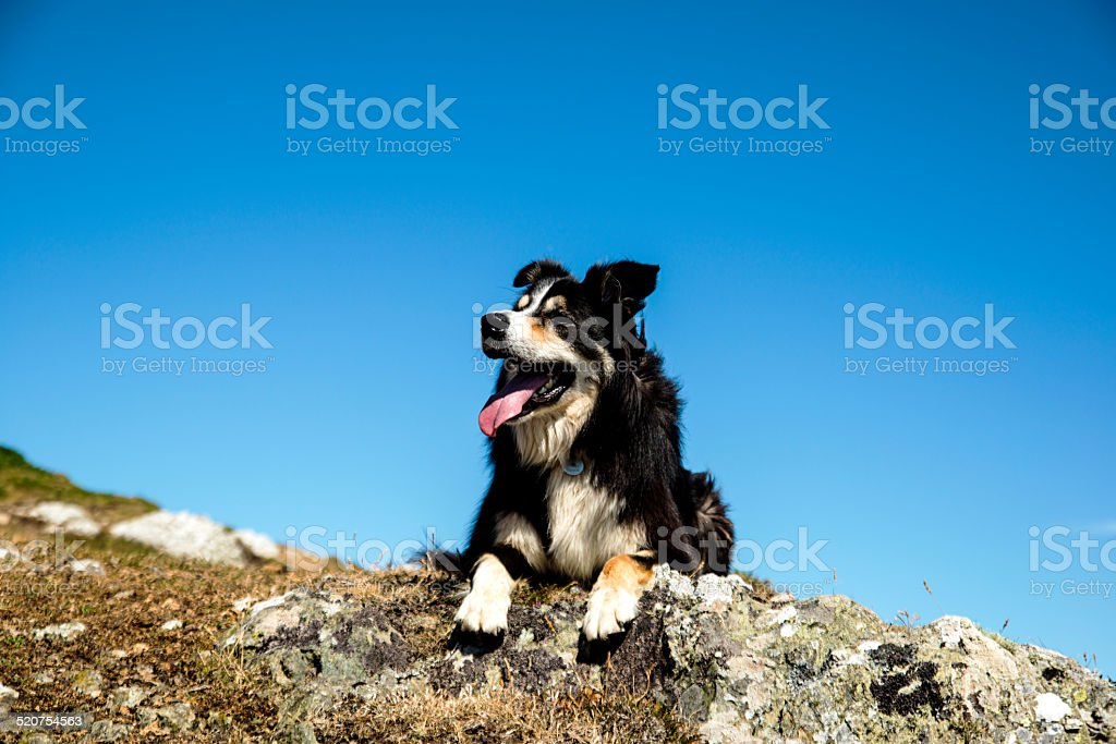 Looking up to a sheepdog resting on a  rock stock photo