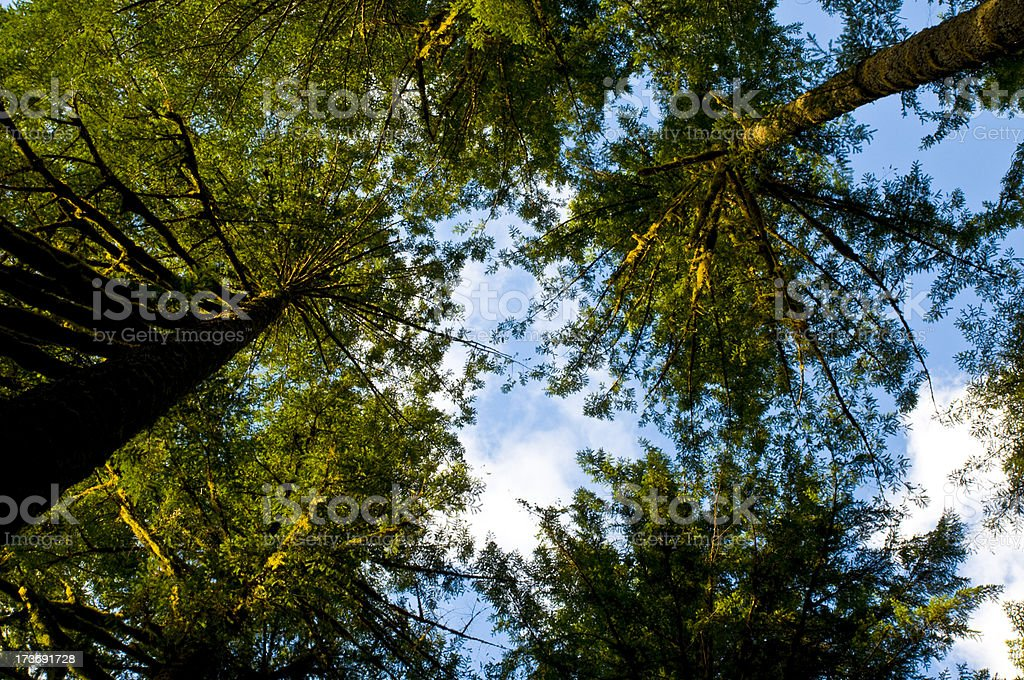 looking up to the sky surrounded by tall trees stock photo
