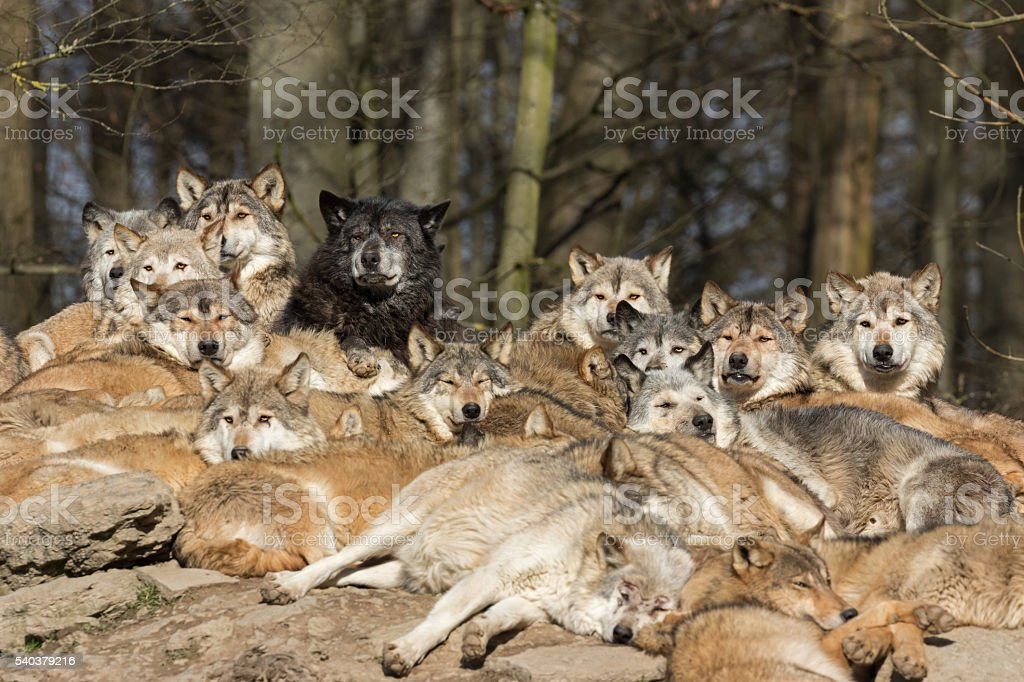 Looking Wolves stock photo