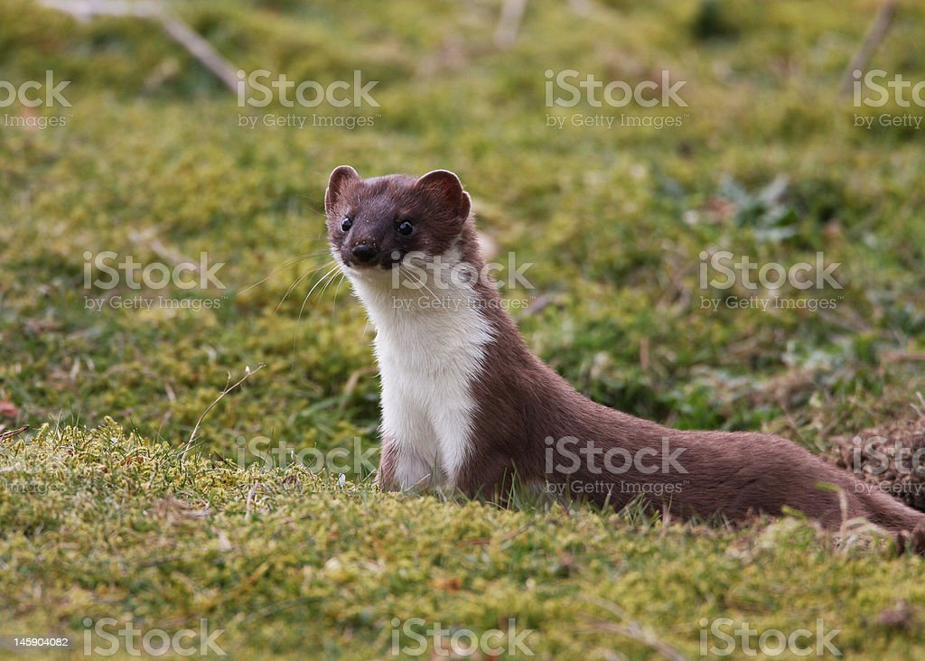 'Lookout' - stoat about! stock photo