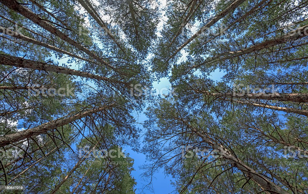 Lookup in pine forest royalty-free stock photo