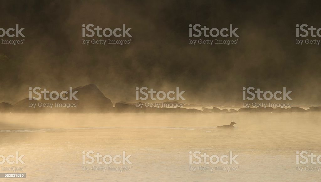 loon in morning mist stock photo