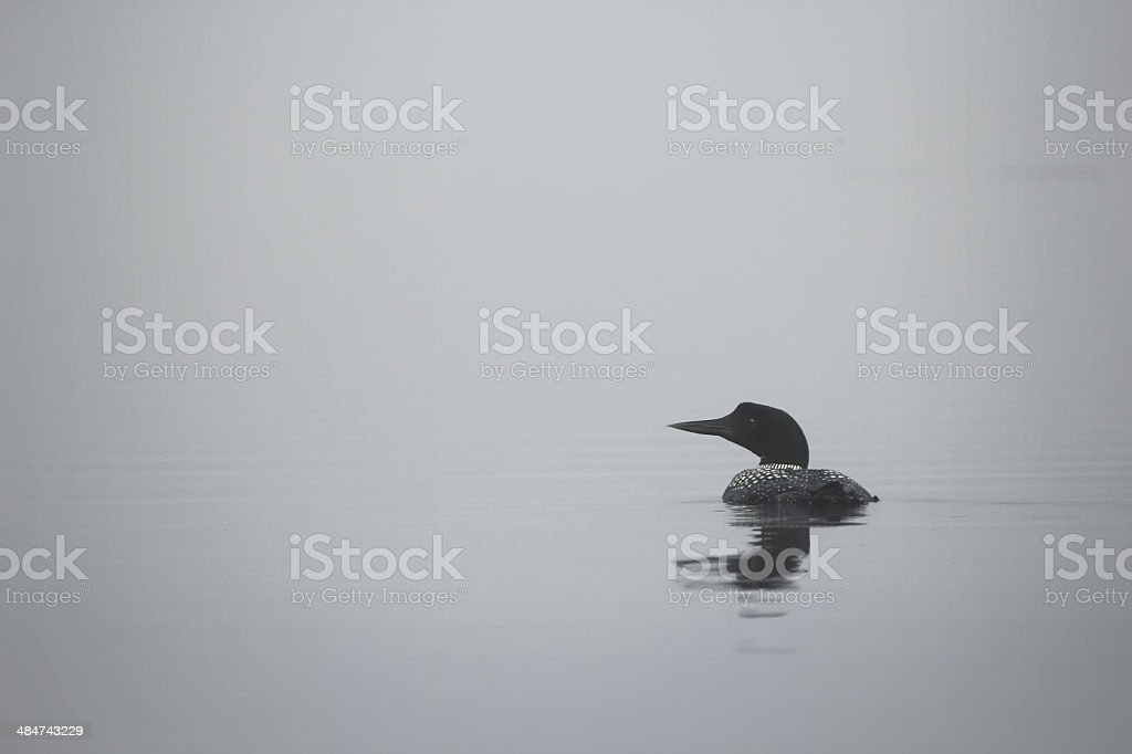 Loon in the Fog stock photo