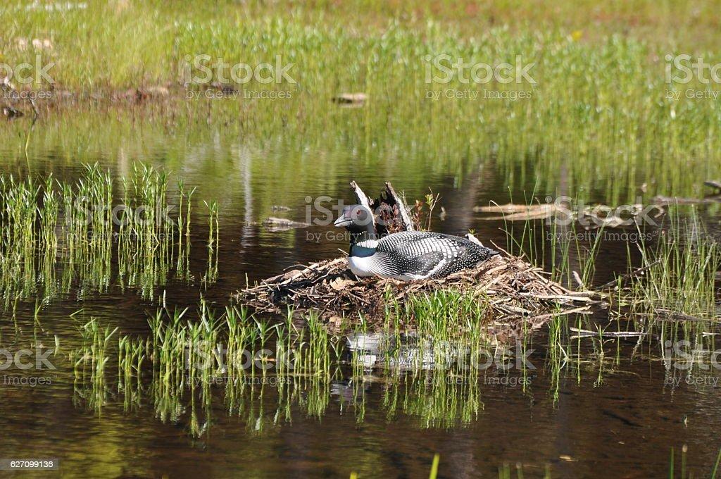 Loon near Jordan Pond, Acadia National Park, Maine stock photo