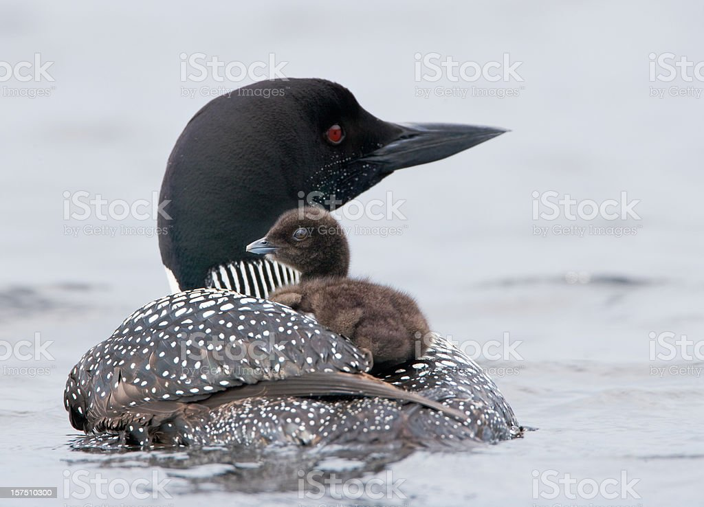 Loon with Chick stock photo