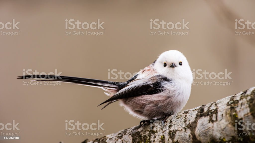 Loong tailed stock photo