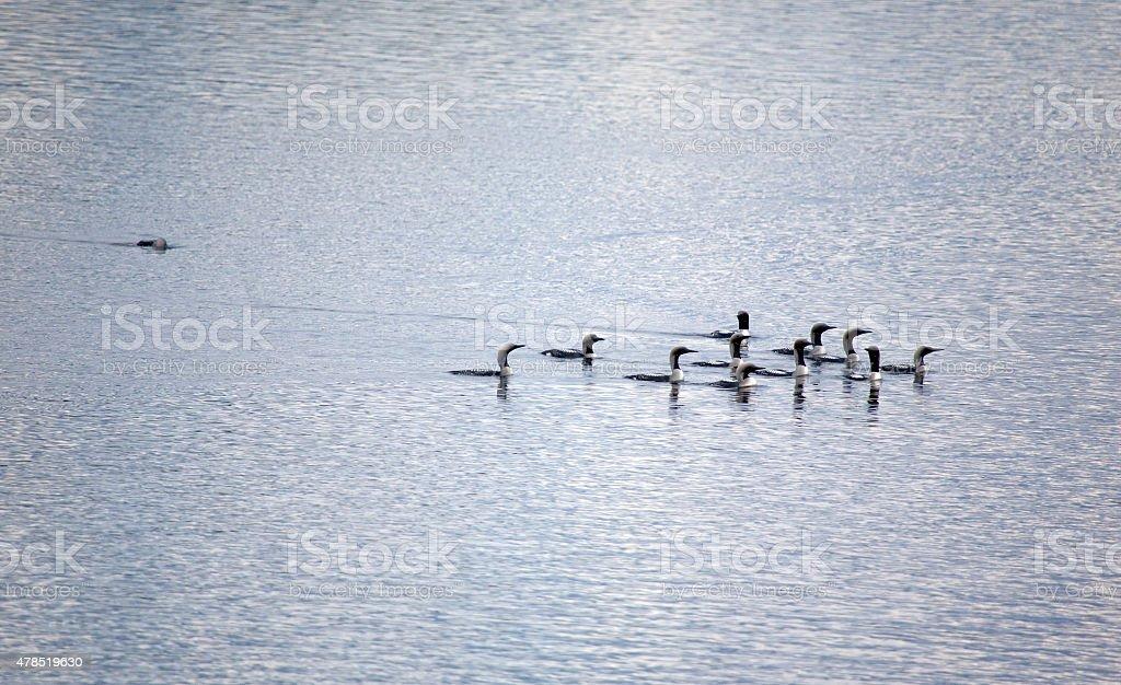 loons stock photo