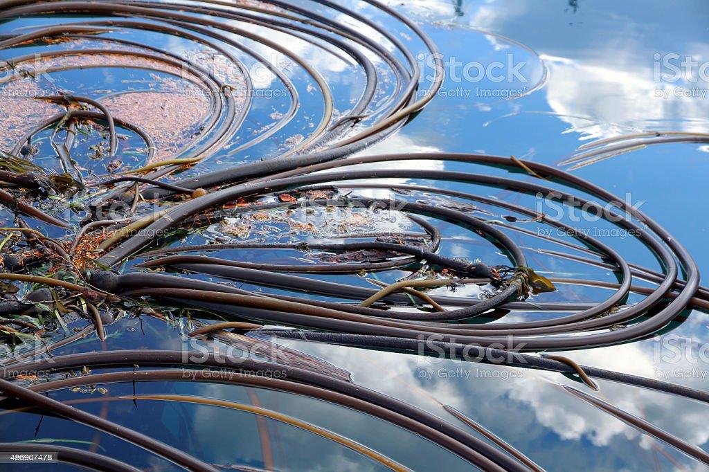 Loops of Seaweed stock photo