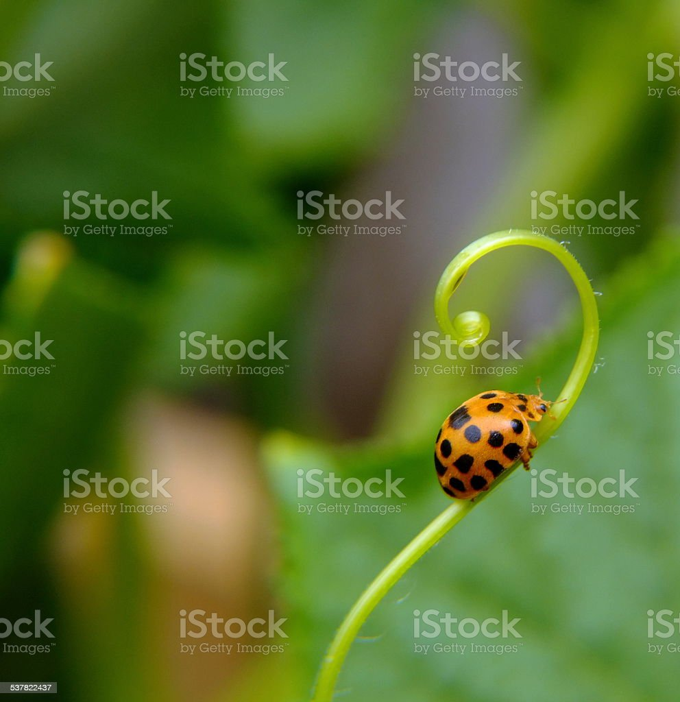 Loopy Lady Bug stock photo
