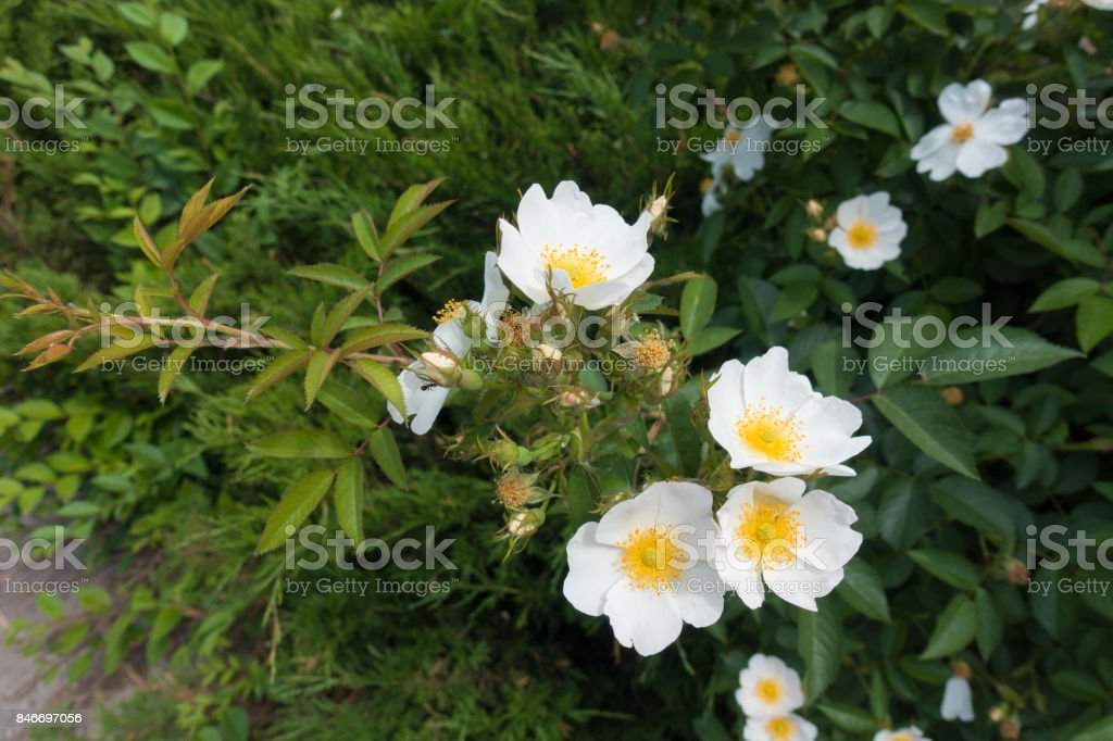 Loose cyme of white flowers of rose stock photo