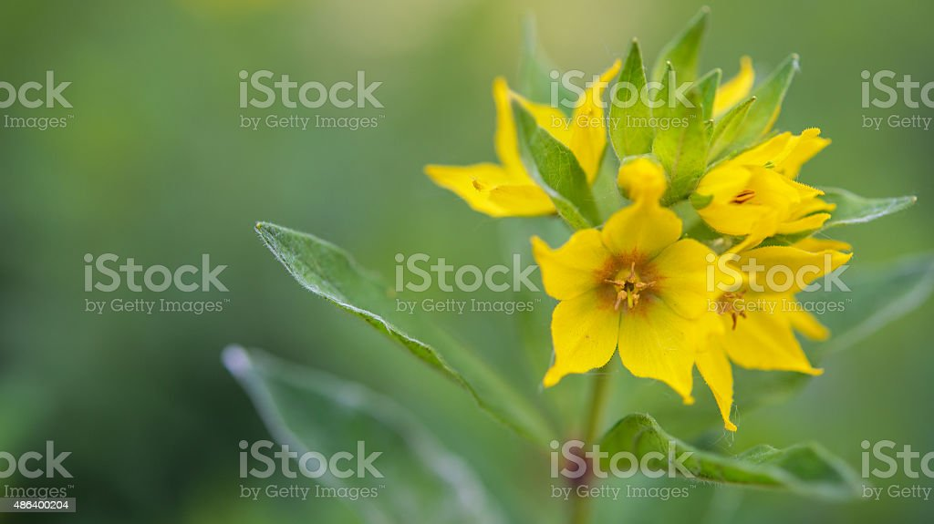 Loosestrife ordinary (primulaceae) stock photo