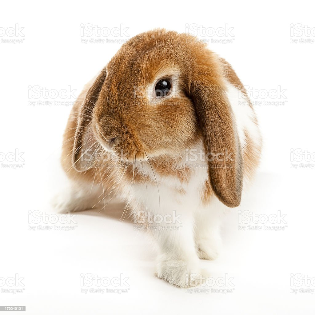 Lop Bunny stock photo