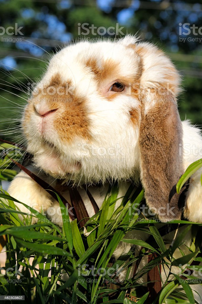 Lop Ear Rabbit Outdoors Close Up stock photo