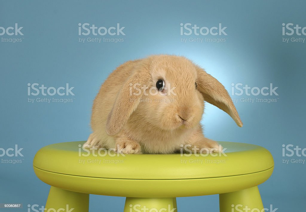 Lop ear rabbit royalty-free stock photo