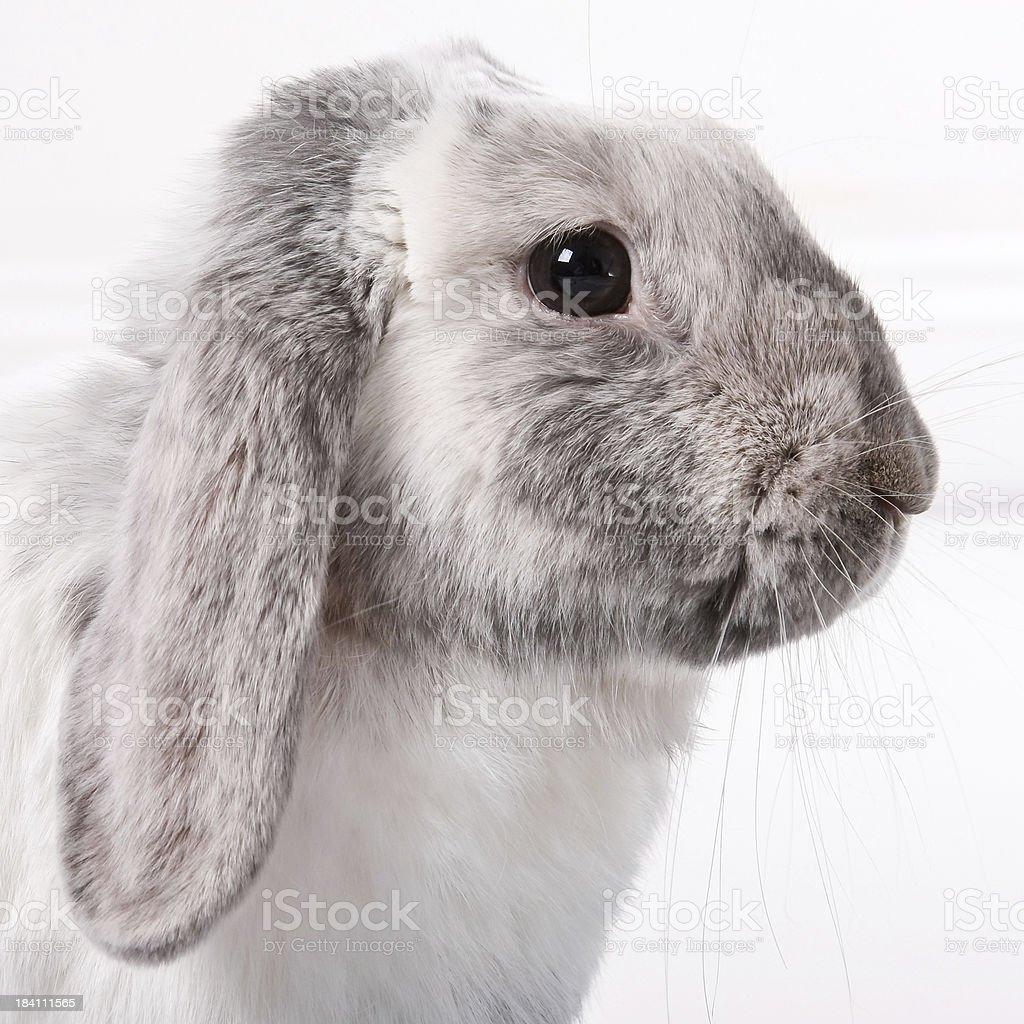Lop eared, grey, rabbit stock photo