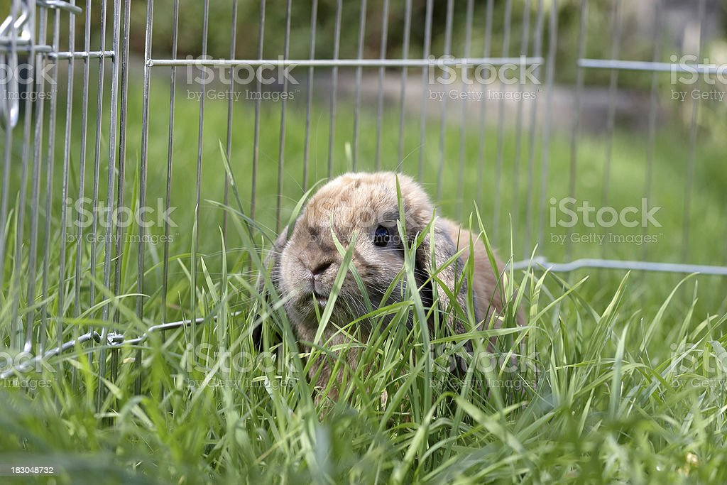 Lop eared rabbit in the grass stock photo