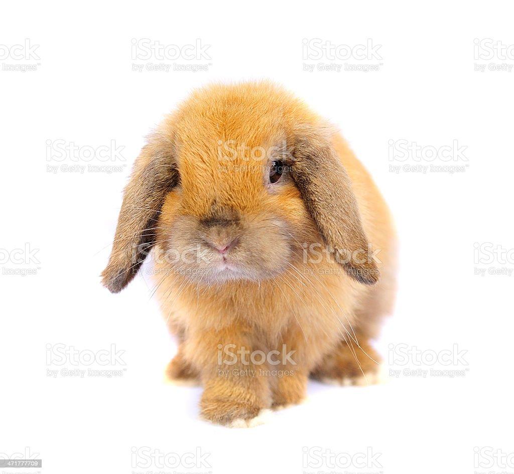 Lop rabbit royalty-free stock photo