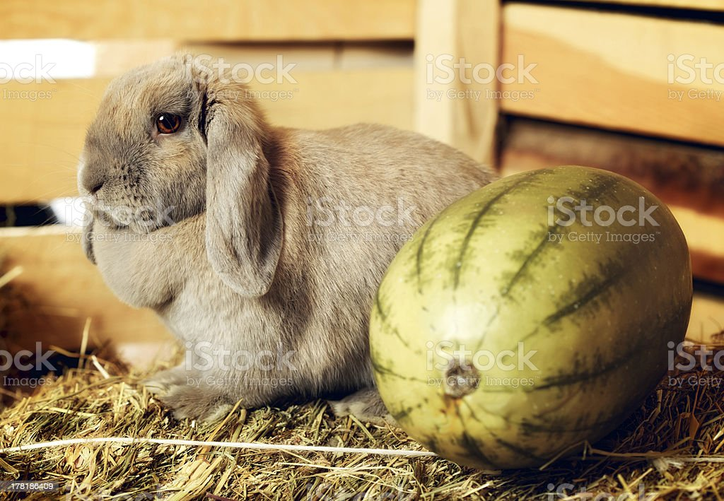 Lop-earred Rabbit royalty-free stock photo