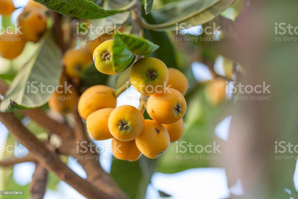 Loquat fruits stock photo