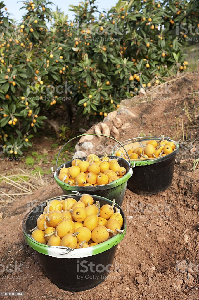 Loquat harvest stock photo