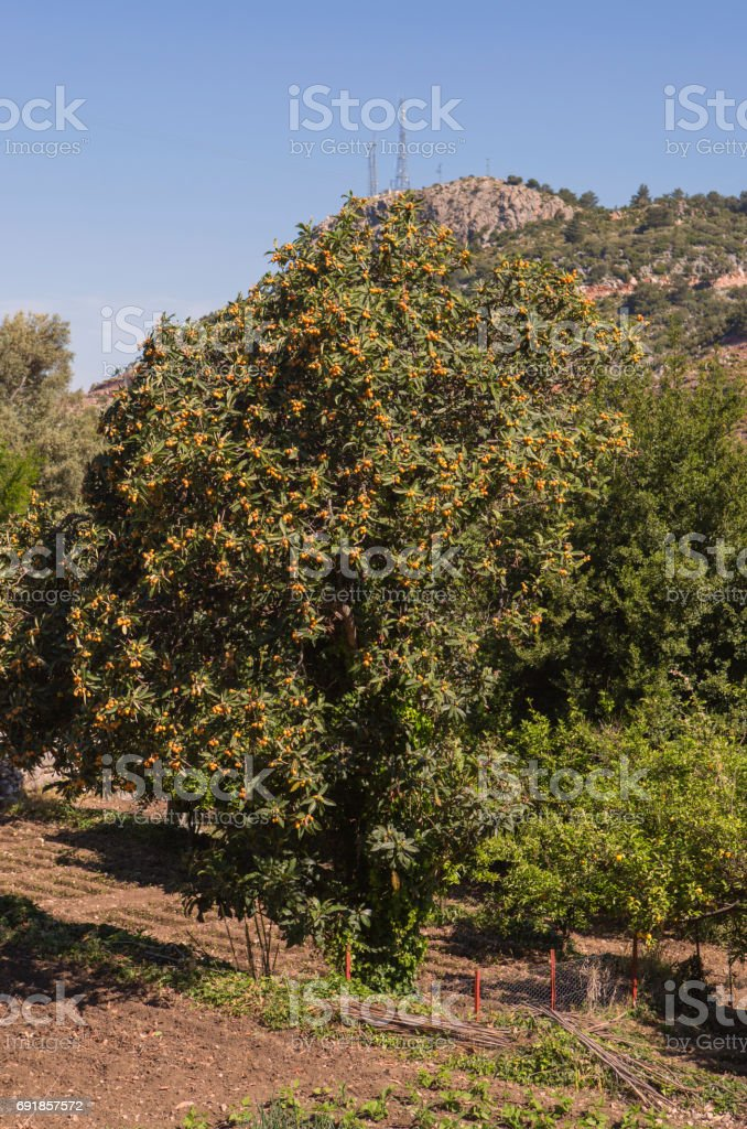 loquat japanese plum fruit tree near fethiye mugla turkey stock photo