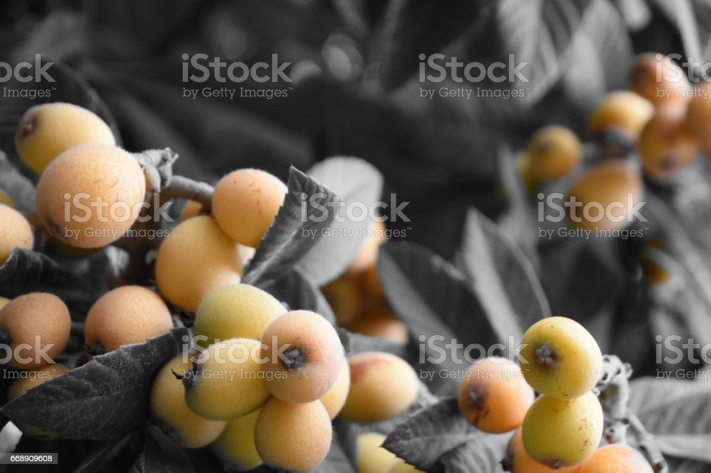 Loquat tree stock photo