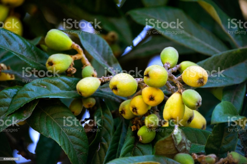 Loquat tree with mature fruits stock photo