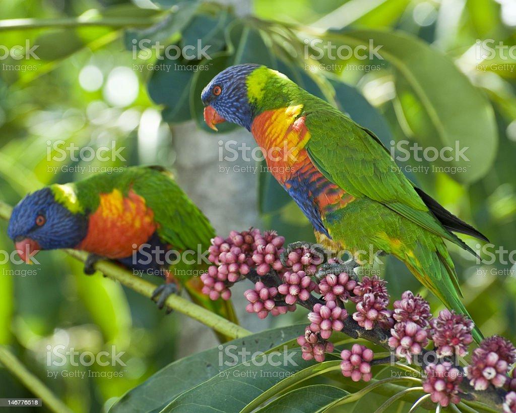 Lorikeet couple feeding on Umbrella Tree flower spike stock photo