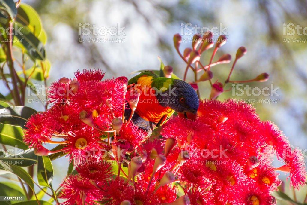 Lorikeet in Flowering Gum stock photo