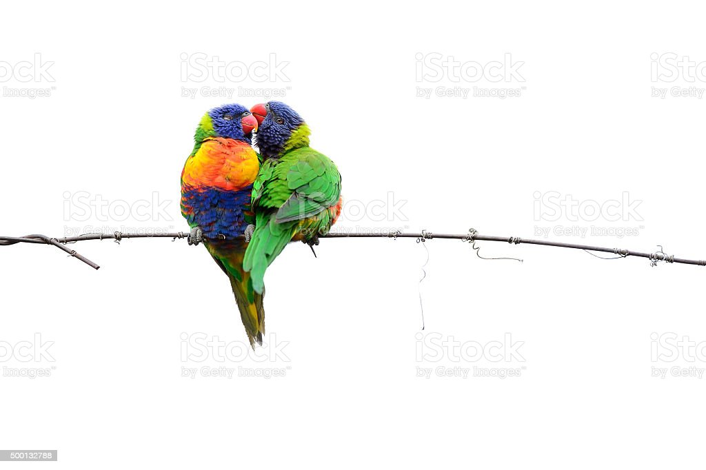 Lorikeets Kissing on the Wire stock photo