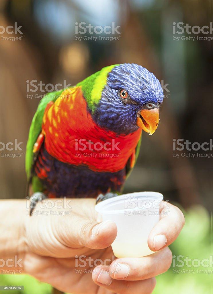Lori-lori parrot sitting on the hand stock photo