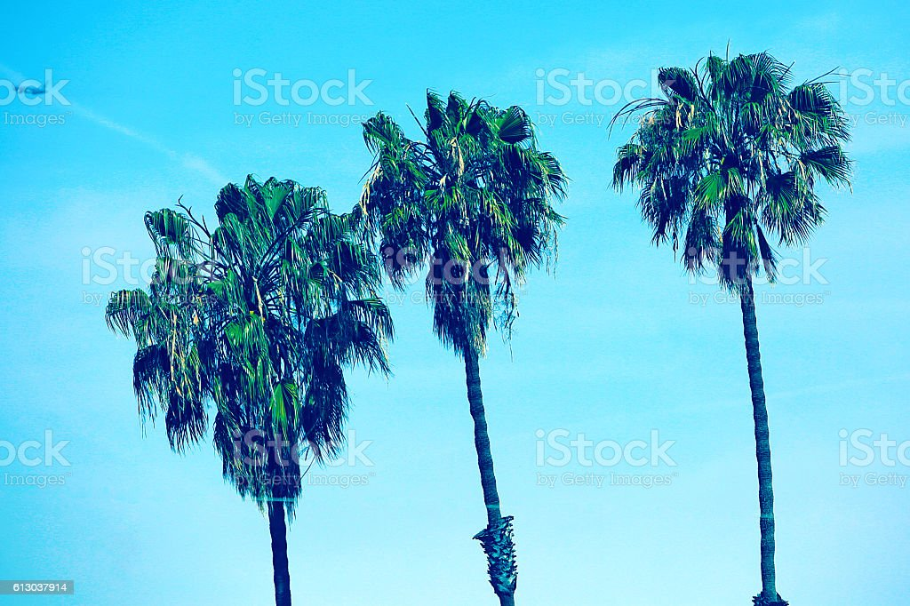 Los Angeles Palm Trees stock photo