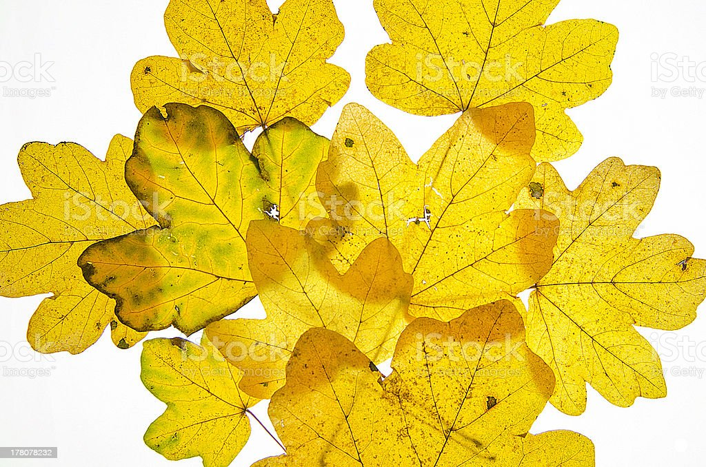 Lose Pile of Maple Leaves royalty-free stock photo