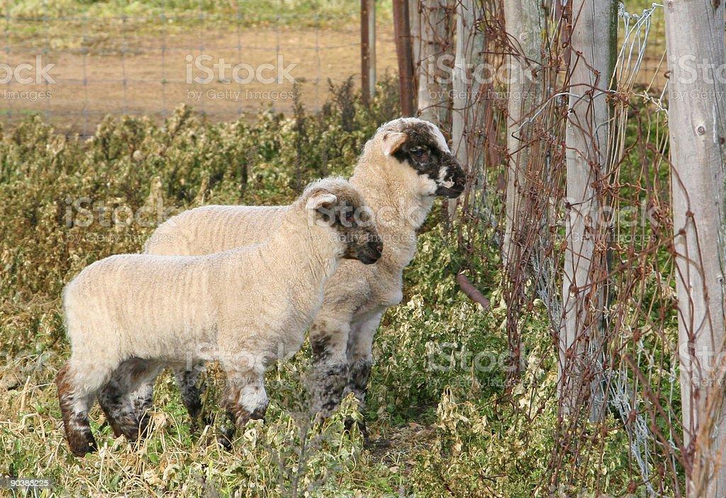 Lost Lambs stock photo