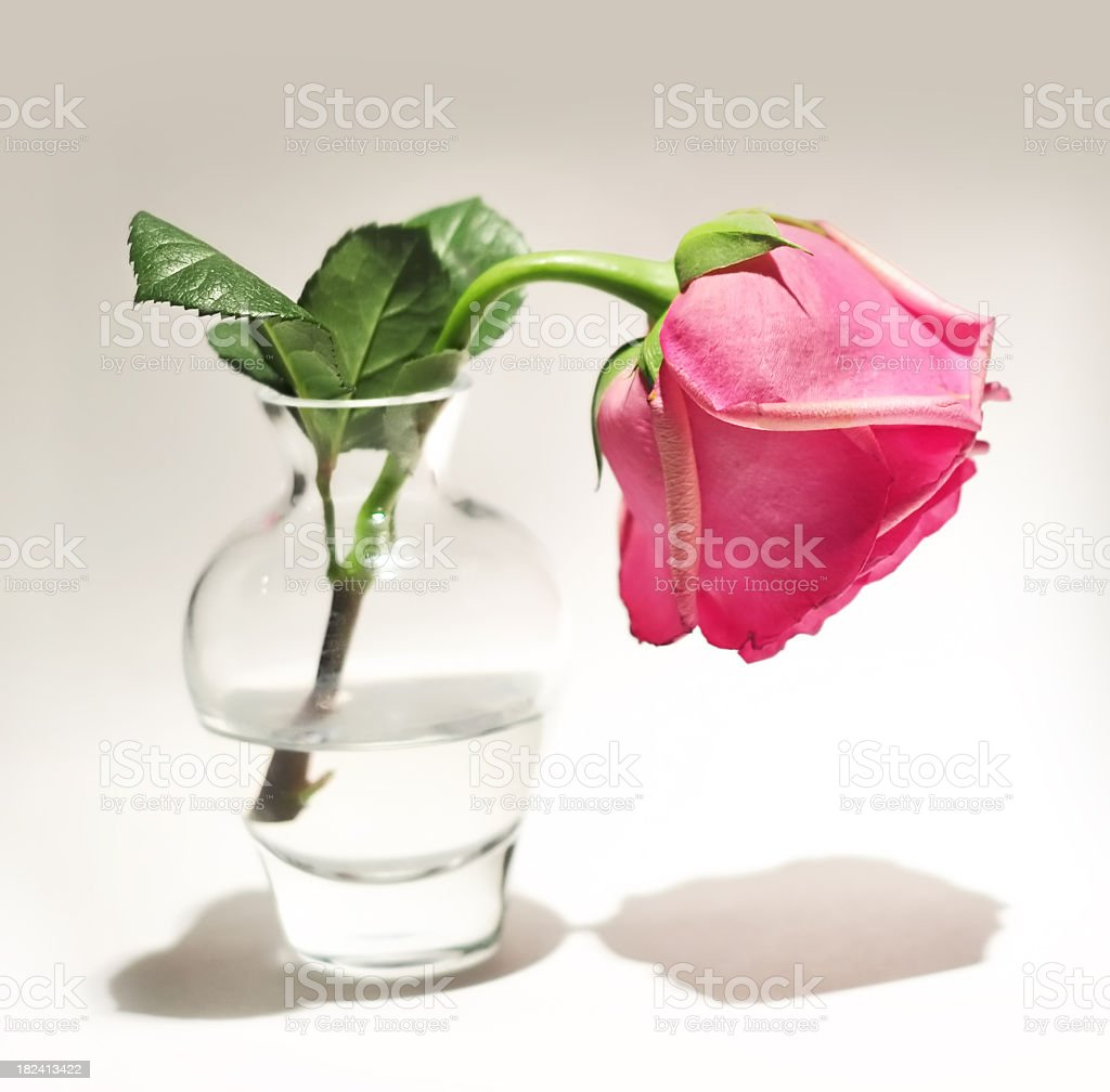 Lost love or failed valentine as a wilting rose. royalty-free stock photo