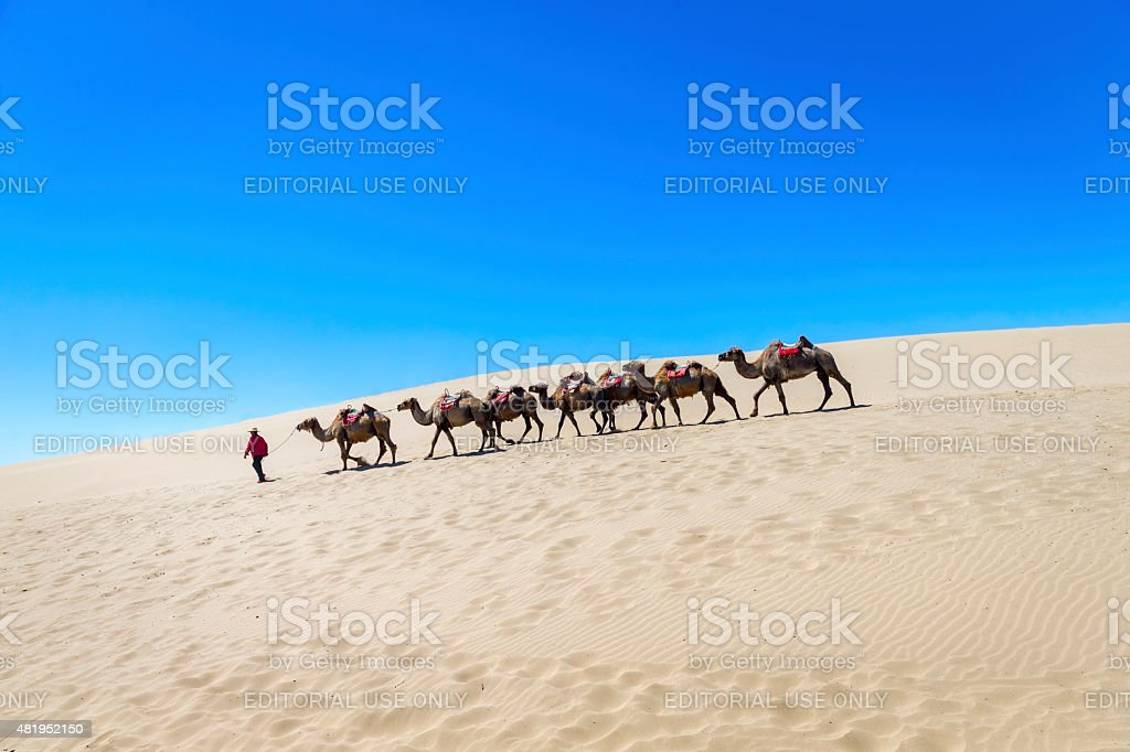 Lot camels are prepared for tourist riding at  Ningxia, China stock photo