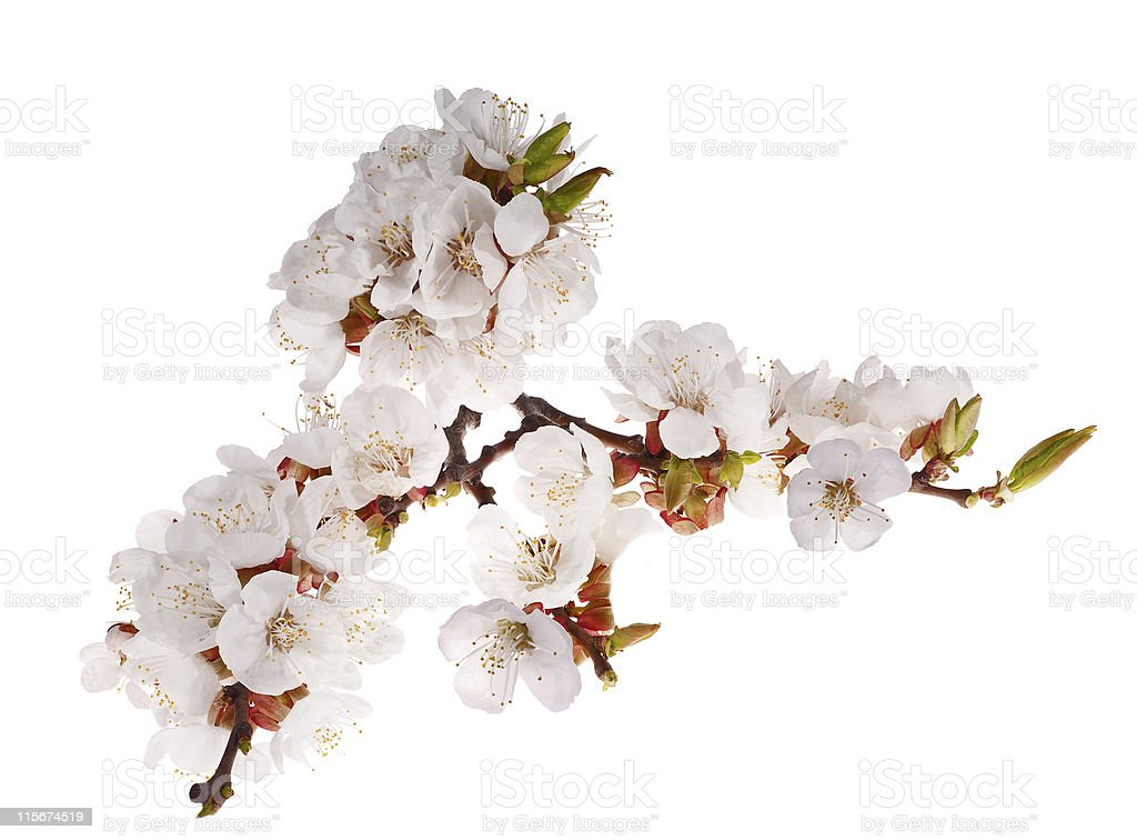 lot of cherry-tree flowers on branch royalty-free stock photo