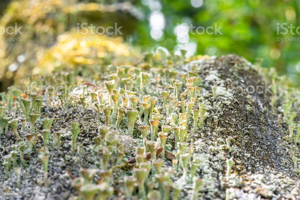 Lot of dried funnel shaped mushrooms at a tree trunk stock photo