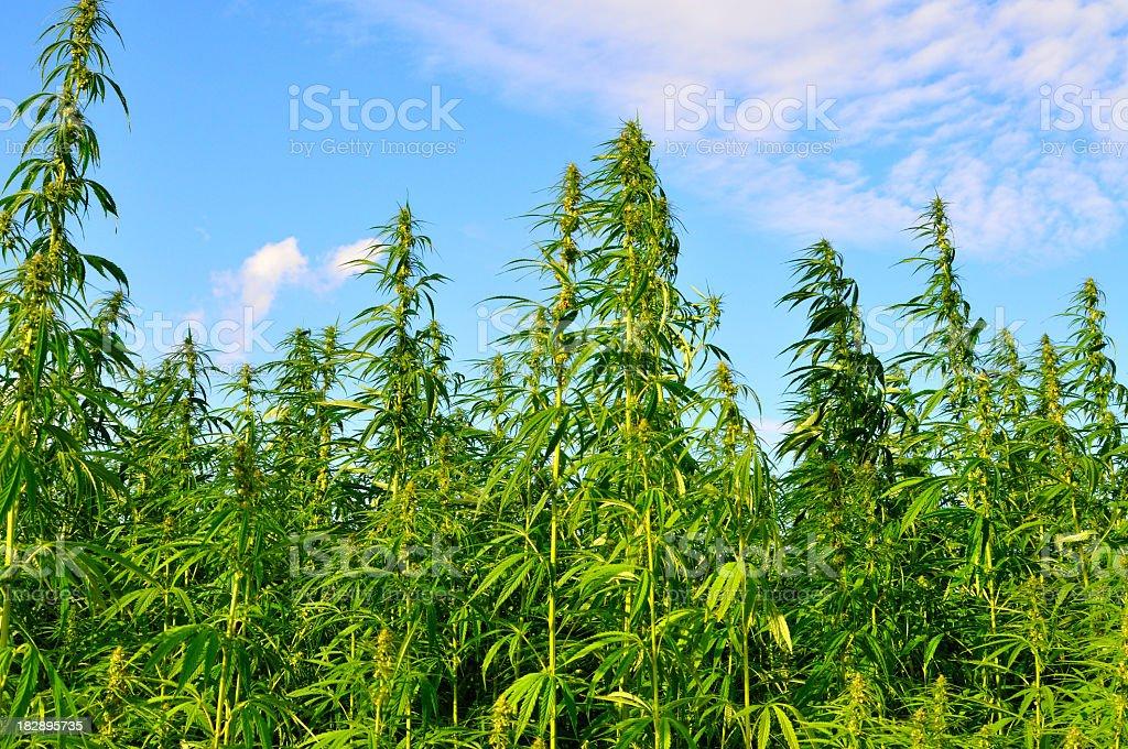 A lot of hemp growing on a hemp farm royalty-free stock photo