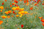 Lot of poppies growing in the area in the botanical