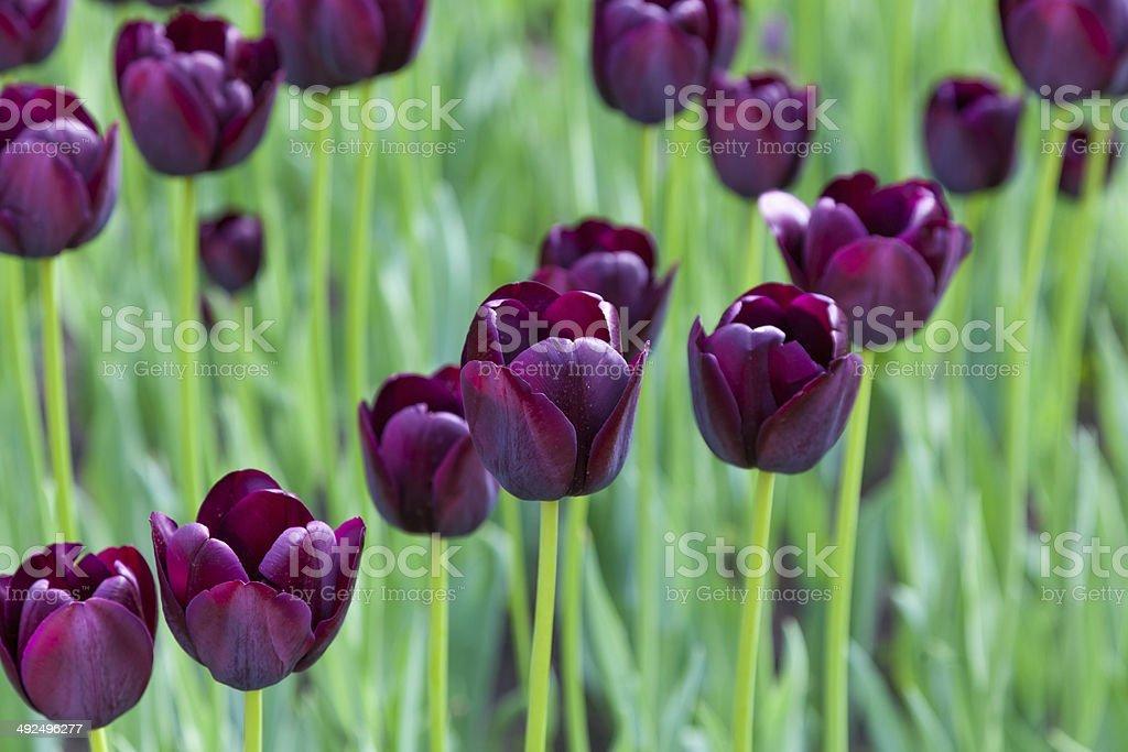 lot of purple tulips royalty-free stock photo