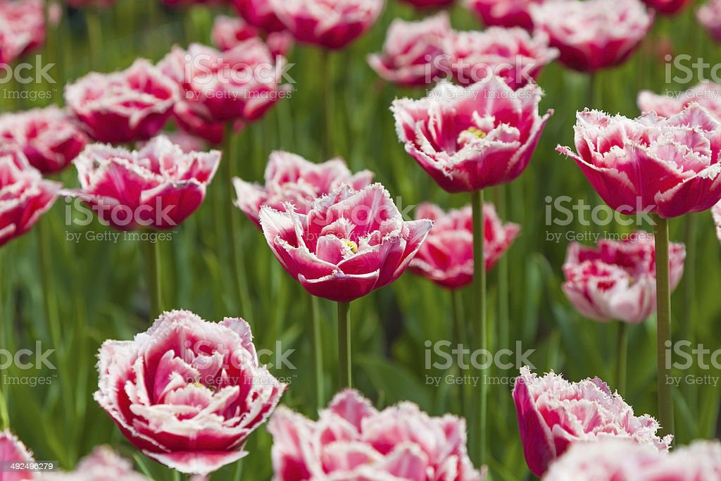lot of red and white tulips royalty-free stock photo