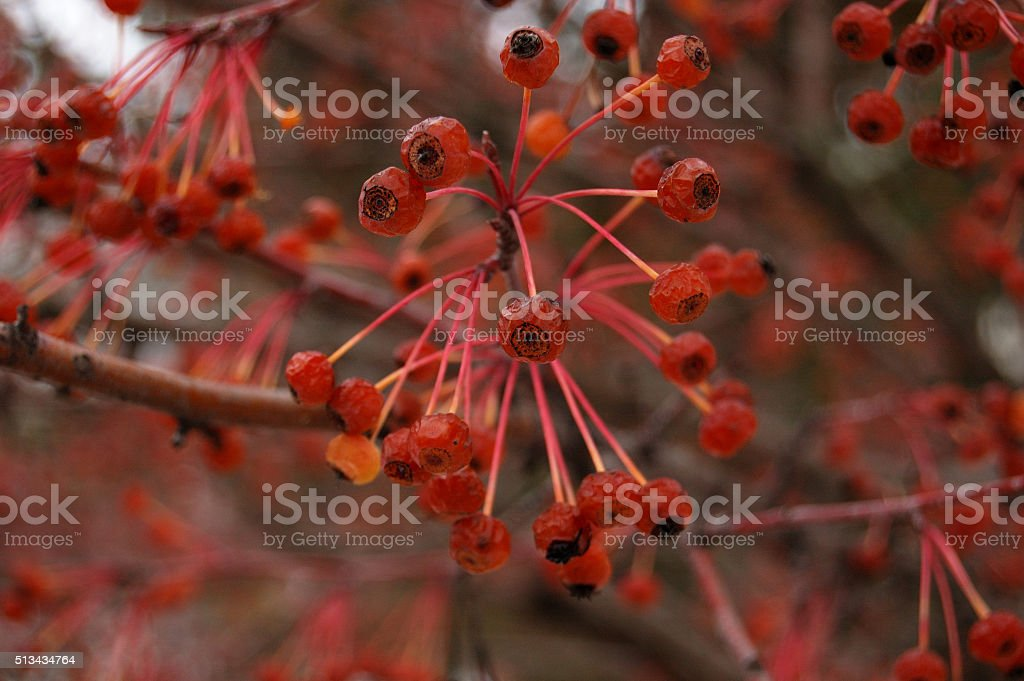 lot of red fruits on a tree stock photo
