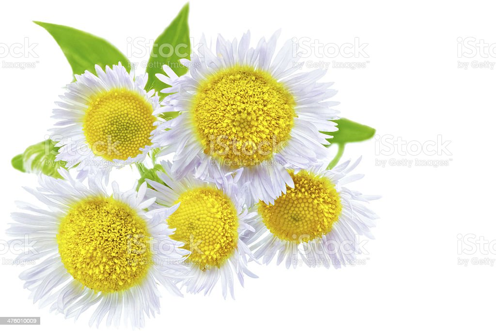 Lot of White camomiles. Isolated royalty-free stock photo
