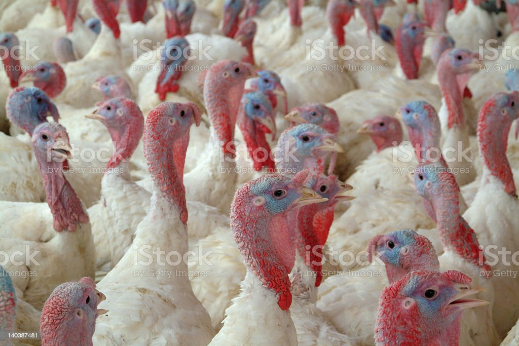 A lot of young turkeys together stock photo