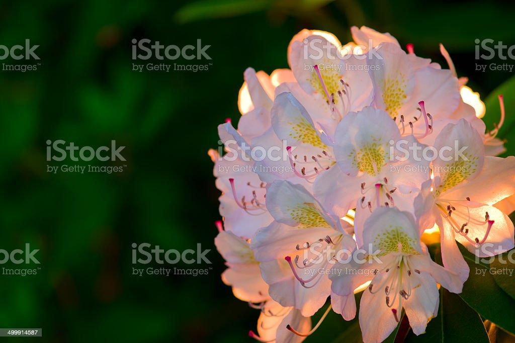 Lots of azaleas blooming in spring  garden stock photo