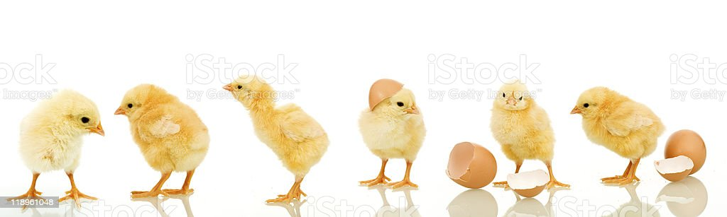 Lots of baby chicken stock photo